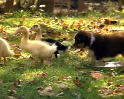 These Puppies Meet Ducks For The First Time – Just Watch What They Do!