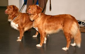nova_scotia_duck_tolling_retriever_111