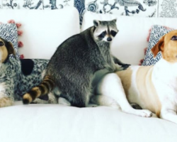 This Adorable Raccoon Now Thinks She's A Dog After Being Taken In By A Loving Family