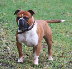 ukc_olde_english_bulldogge_male