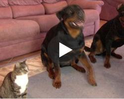 He Asked His Dogs To Roll Over. When I Saw The Cat's Reaction, I Was In Stitches!!