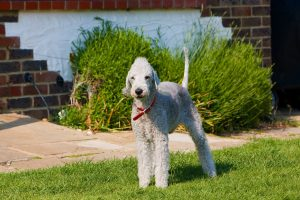 bedlington-terrier-164035_1280