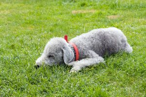 bedlington-terrier-76571_1280