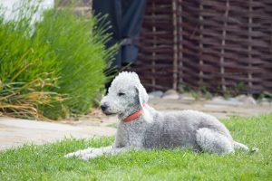bedlington-terrier-76572_1280
