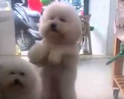 What This Dog Does Whenever Mom Plays His Favorite Song Is So Cute! White Dogs Can Dance!