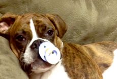 Cute Boxer Puppy Falls Asleep When She Gets Her Pacifier