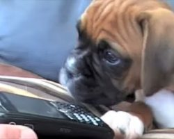 Boxer Puppy Has The Most Precious Reaction When He Hears His Mom On The Phone