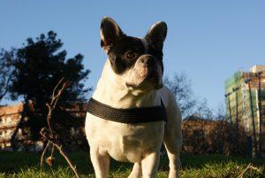bulldog-2444_960_720