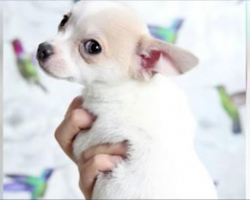 Woman Gets A New Chihuahua Puppy, Then Notices His Unusual Birthmark Is Shaped Like A Heart