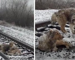 Dog is stuck on railroad tracks for 2 days. Brother keeps her warm and fed until help arrives