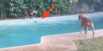 Clever Boxer Dog Tricks Other Dog Into Jumping Into Swimming Pool