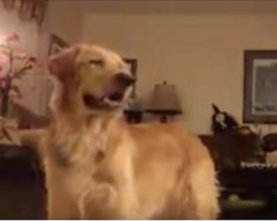 """Golden Retriever Beautifully Sings Along To """"The Prayer"""" By Andrea Bocelli"""