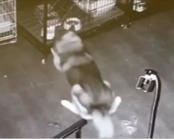 Brilliant Siberian Husky Stages A Prison Break – And Leaves No Canine Behind