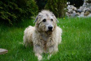irish-wolfhound-1789938_1280
