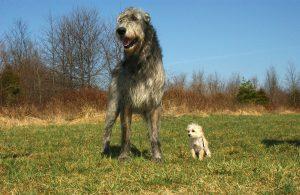 irish-wolfhound-85578_1280