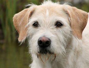 irish-wolfhound-hybrid-billy-615321_1280