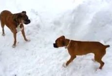 Old Boxer Dog Tricks Puppy Into Running Laps