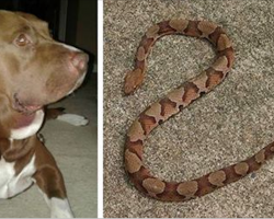 Man hears child scream in yard, finds struggling pit bull, dead snake, and horrified child