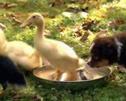 Cute Australian Shepherd Puppies Attempt To Herd Ducklings For The First Time