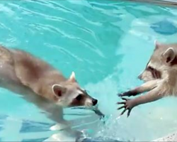 Owner Records Raccoon Trying To Lift His 'Drowning' Brother Out Of The Pool