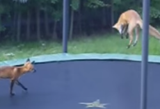 Wild Foxes Discover Trampoline And Have The Time Of Their Lives
