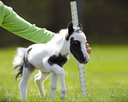 The smallest horse in the world is unimaginably adorable
