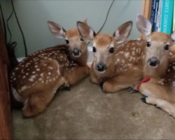 Woman Leaves Back Door Open As Storm Approaches, Then Walks Inside To Find 3 Baby Deer