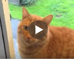 Cat Wants To Back Come Inside… And Has A Clever Trick To Let His Owners Know It