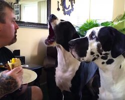 Great Dane Throws A Hilarious Tantrum For A Piece Of Dad's Sandwich