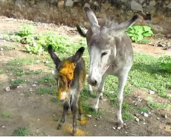 Donkey Cries For People To Help Save Her Wounded Baby – Her Prayers Are Finally Answered
