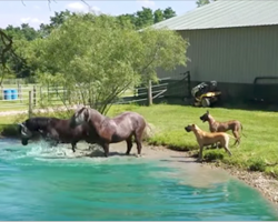 Great Danes have too much fun when the horses start splashing around in the water
