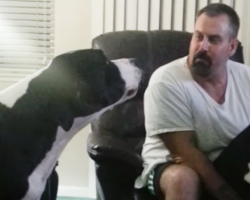 Jealous Great Dane Throws The Most ADORABLE Temper Tantrum! Hysterical!