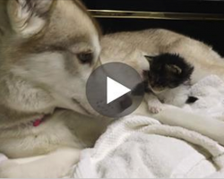 They Thought This Kitten Was Going To Die, But Then She Met A Husky Named Lilo And Everything Changes
