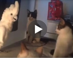 Lonely Parrot Wants To Fit In With The Gang Of Cats. What He Does Is Remarkable!