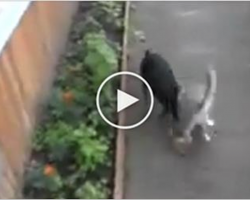 Naughty Cat Does Not Want Go Home, Owner Asks Dog To Bring Kitty Back. His next Move is HILARIOUS!
