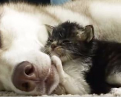 Nervous adopted kitten found herself a husky mama. See them together one year later