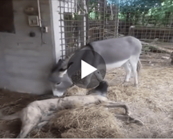 See What This Donkey Did With Disabled Dog When Other Dogs Refused To Play With Him.