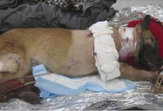 Dog is shot 4 times while saving soldier's lives. One soldier's thank you has gone viral
