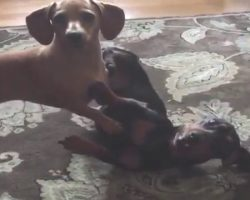 The Dachshund Brothers Are Fighting, But Then Mom Says The Magic Word… LOL