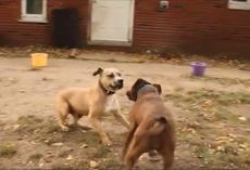 Watch what happens when two former fighting dogs meet for the first time!