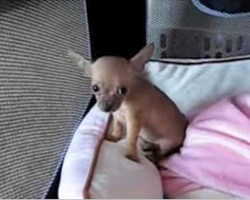 When This Baby Chihuahua Howled For The First Time, My Heart Almost Melted!
