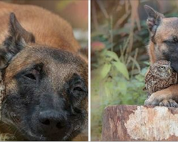 Tiny owl needs protection, becomes best friends with giant German Shepherd to look after him