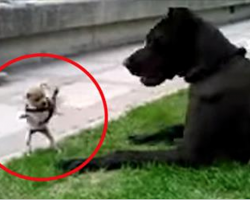 An Adorable And Fearless Chihuahua Takes On A Giant Great Dane. Oh My! I Seriously Can't Take It.
