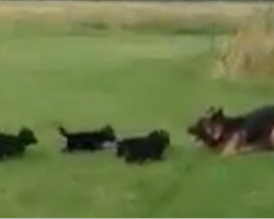 German Shepherd puppies are hyperactive. Mom's brilliant solution tires them in adorable fashion