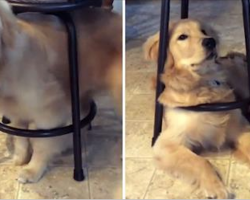 Golden Retriever Still Squeezes into Favorite Puppy Hangout Every Day