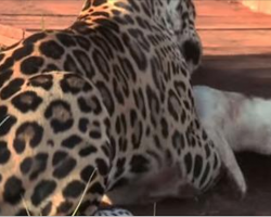 Jaguar Jumps On Tiny Dog, Moment Later The Outcome Left Everyone In Awe
