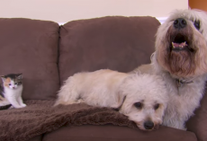 Kitten and Grown Dogs Meet for First Time. It's The Cutest Thing Ever!
