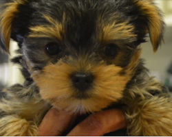 Nurse Saves 5 Week Old Blind Puppy From Being Euthanized