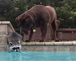Raccoon Reaches Into The Pool, Dogs Next Move Has Made The Internet Fall In Love