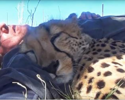 He Was Taking A Nap On The Ground When A Cheetah Appeared And Did The Strangest Thing.